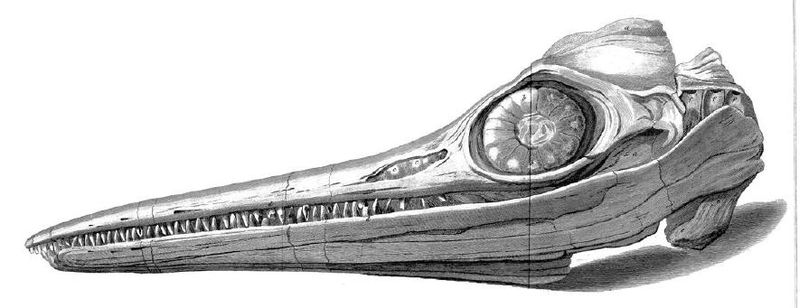 Sketch of the original Ichthyosaurus skull discover by Mary and her brother Joseph in 1811.