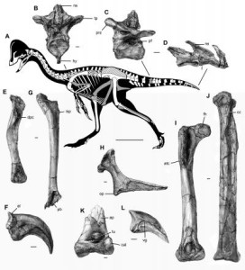 This image shows the skeleton and selected bones of the new oviraptorosaurian dinosaur species Anzu wyliei. (Image: Carnegie Museum of Natural History)